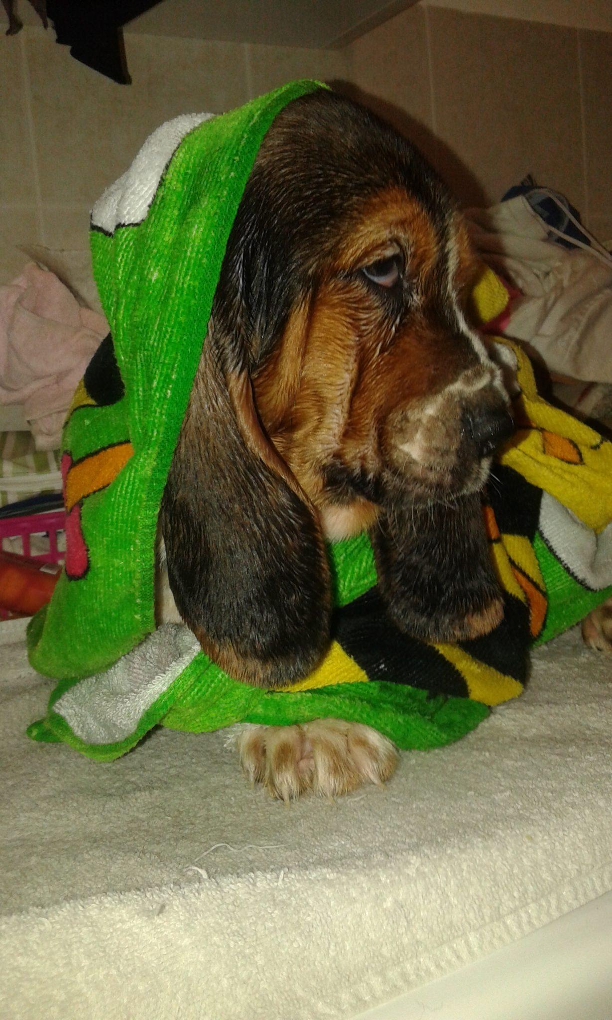 Basset Hound in casa - puppy basset e il bagnetto