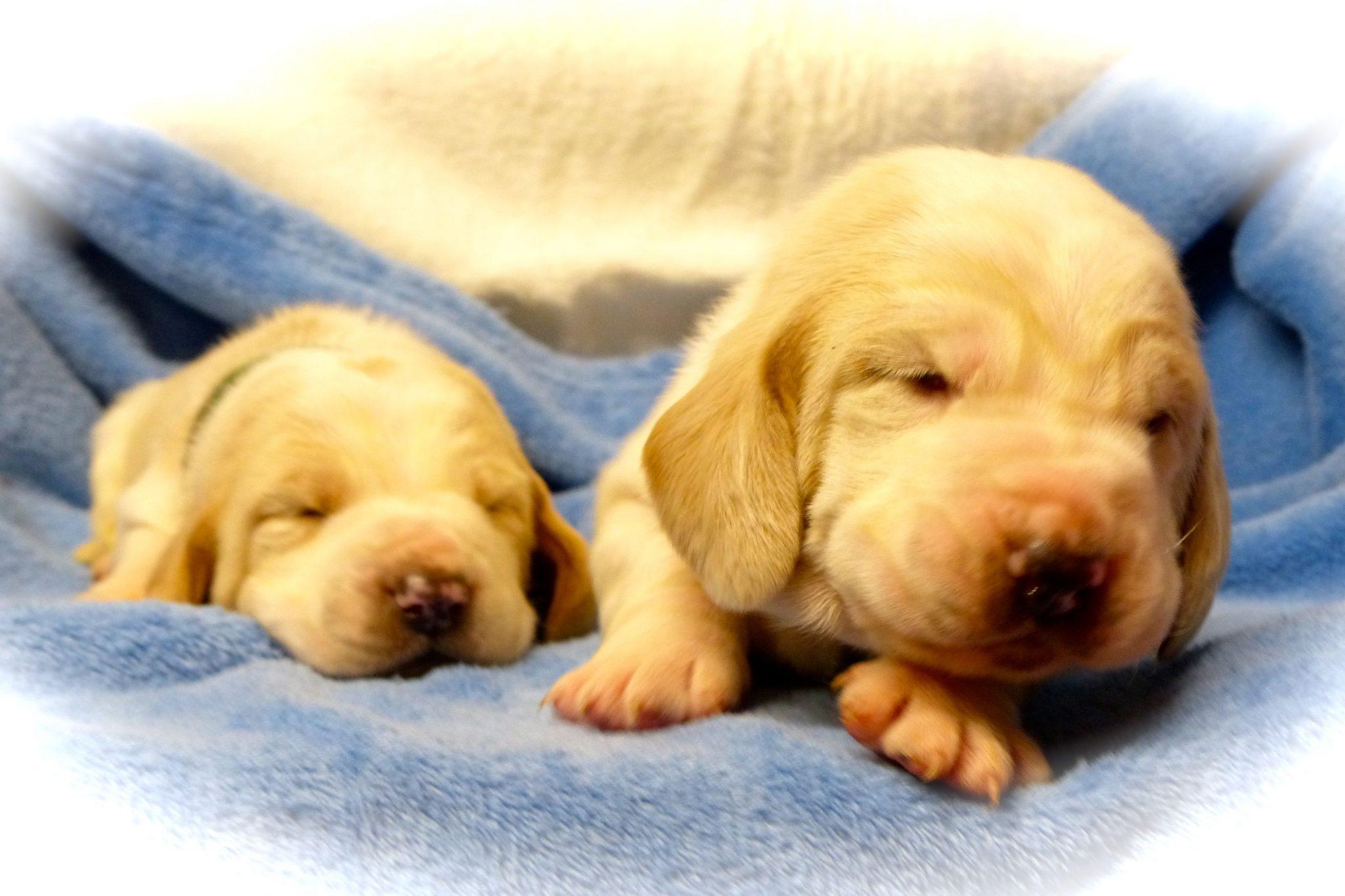 Basset Hound in casa - puppy basset maschio