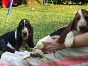 bassethound 3 mesi